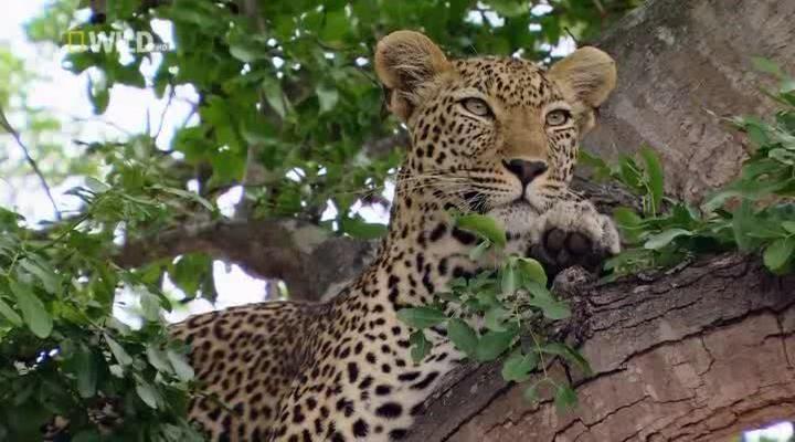 королева леопардов скачать торрент